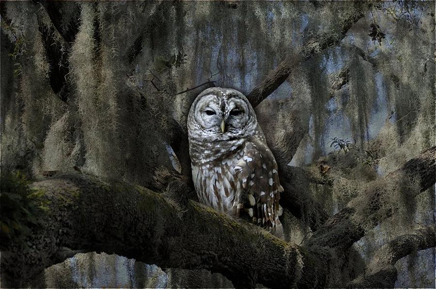 Owl Photograph - Owl In Spanish Moss  by Eagle  Finegan