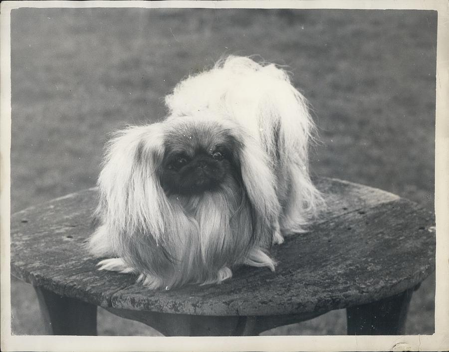 Retro Photograph - Owner- Refuses £10,500 Offer For Pekinese by Retro Images Archive