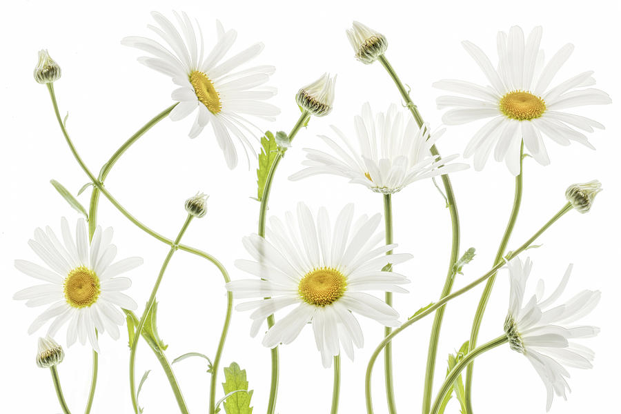 Daisy Photograph - Ox Eye Daisies by Mandy Disher