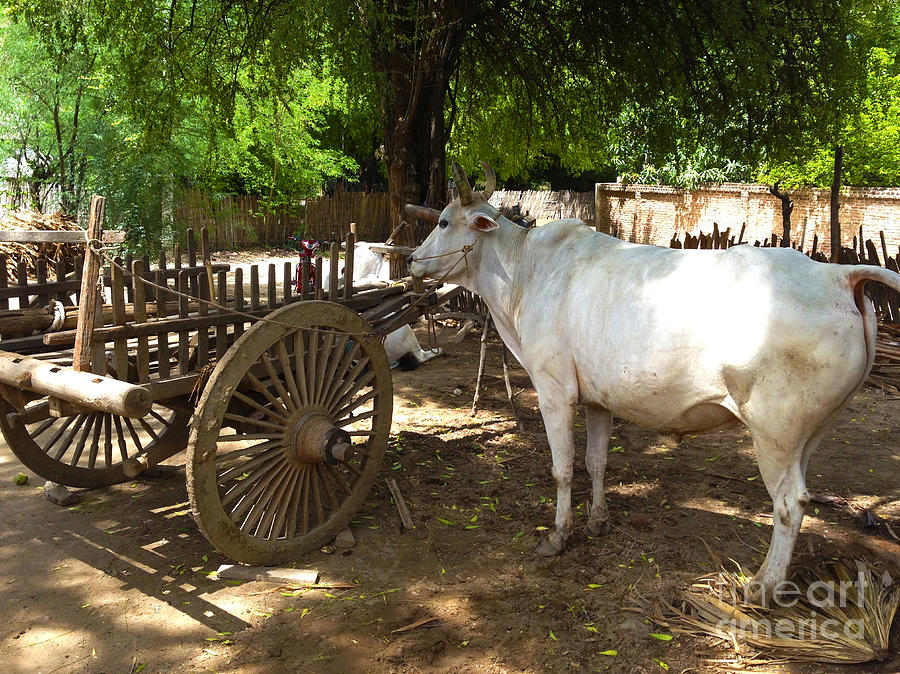 Ox with Oxcart in Farmyard Wetkyi In near Lanmadaw 3 Road Nyaung Oo Bagan Burma by PIXELS  XPOSED Ralph A Ledergerber Photography