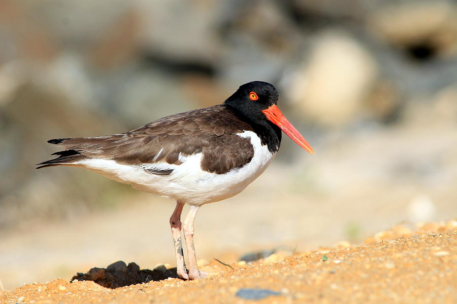 Oyster Catcher 6-4 Photograph by Diane Rada