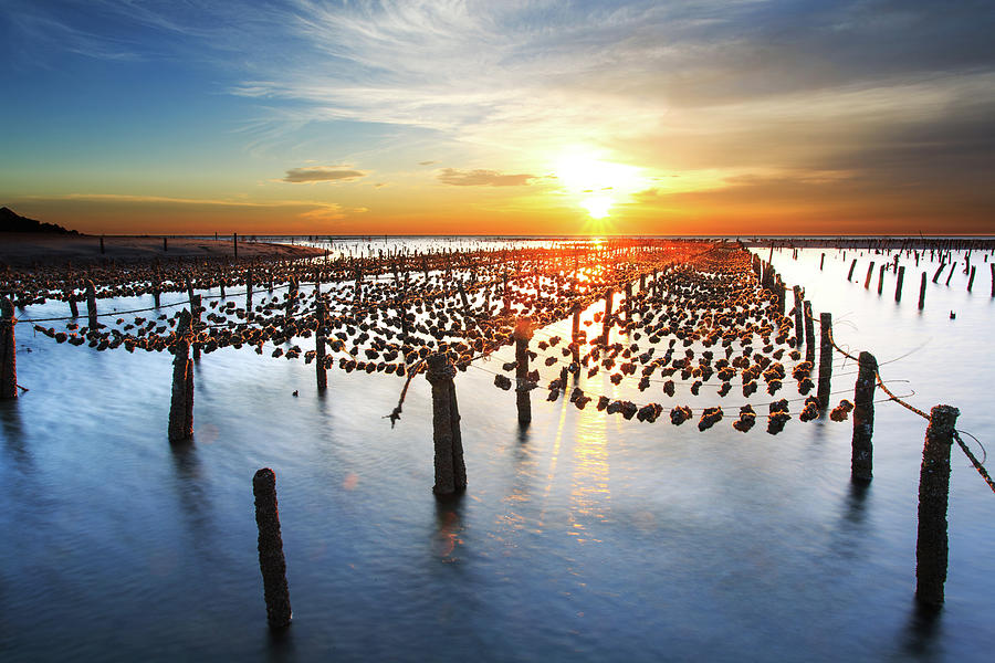 Oyster Farm On Beach During Sunset Photograph by Samyaoo