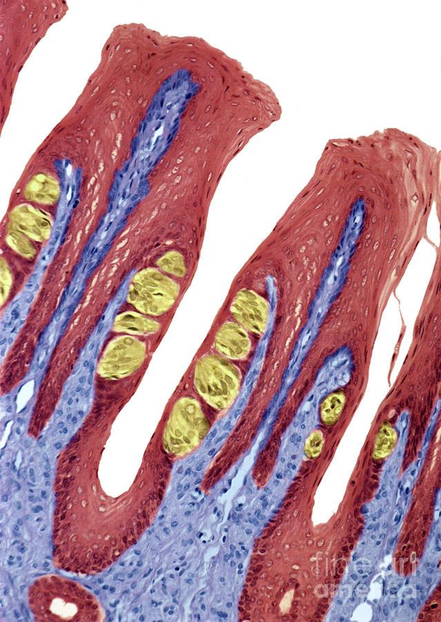 Anatomy Photograph - P4780084 - Taste Buds Lm by Spl