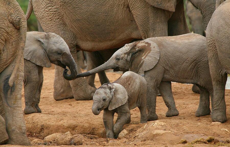 Elephant Photograph - Pachyderm Pals by Bruce J Robinson