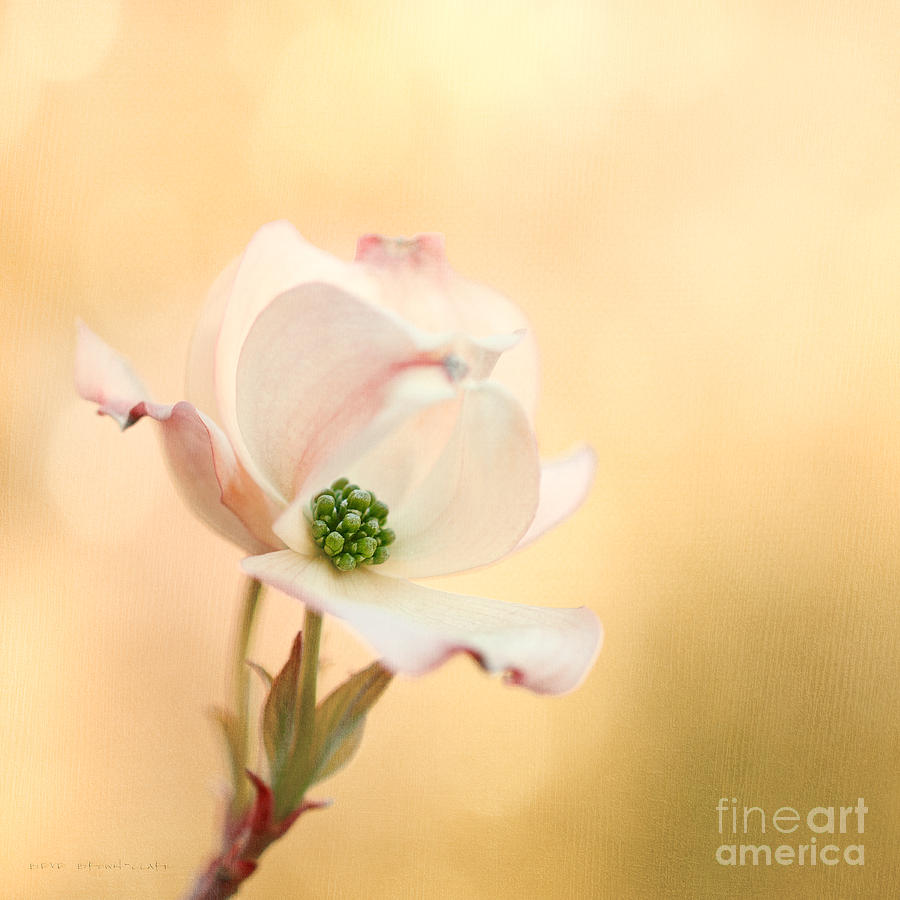 Bloom Photograph - Pacific Dogwood by Beve Brown-Clark Photography