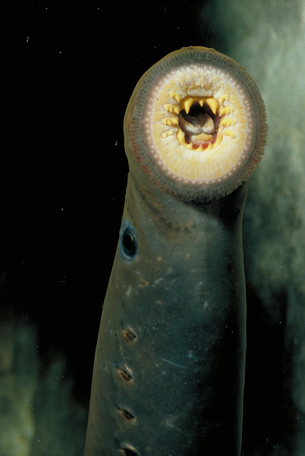 Animal Photograph - Pacific Lamprey by Rondi Church