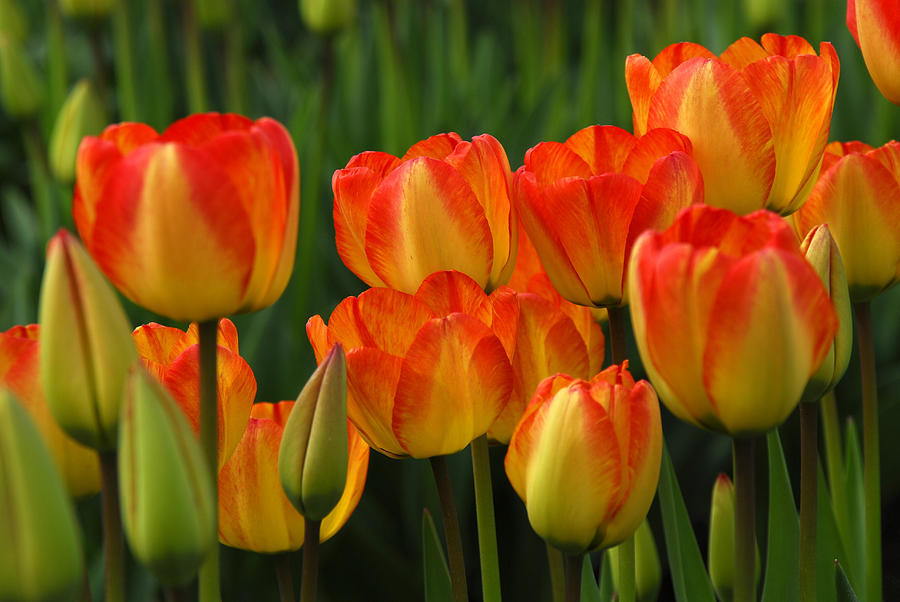 Tulip Photograph - Pacific Northwest Tulips 1 by Keith Gondron
