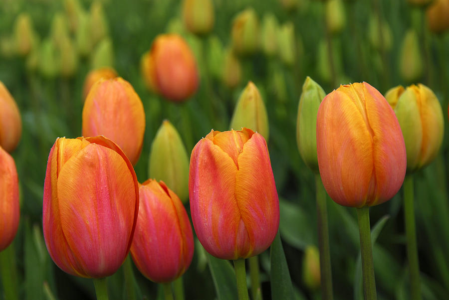 Tulips Photograph - Pacific Northwest Tulips 3 by Keith Gondron