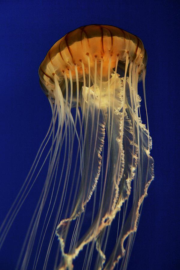 Pacific Sea Nettle Photograph by Hiroya Minakuchi