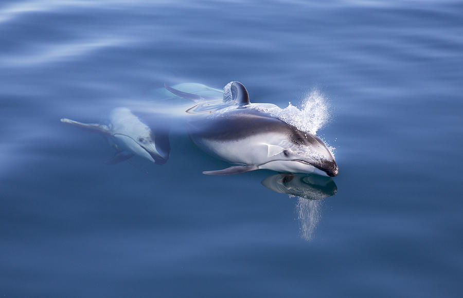 Pacific White-sided Dolphins Surfacing Photograph by Richard Herrmann