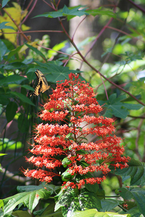 Pagoda Plant With Butterfly Photograph By Nancy Chenet