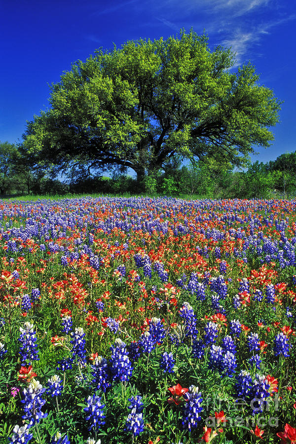 Texas Photograph - Paintbrush and Bluebonnets - FS000057 by Daniel Dempster