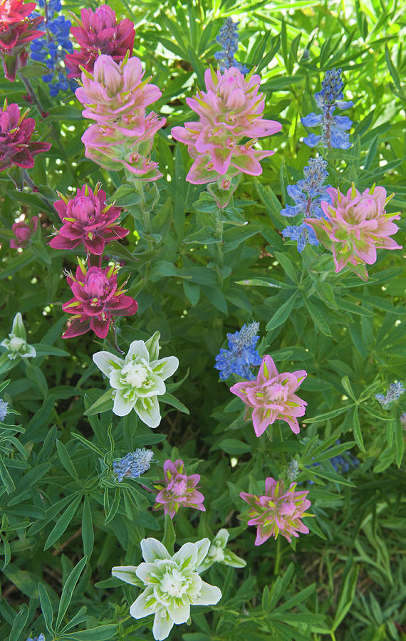 Alta Photograph - Paintbrush And Lupine, Alta Ski Resort by Howie Garber