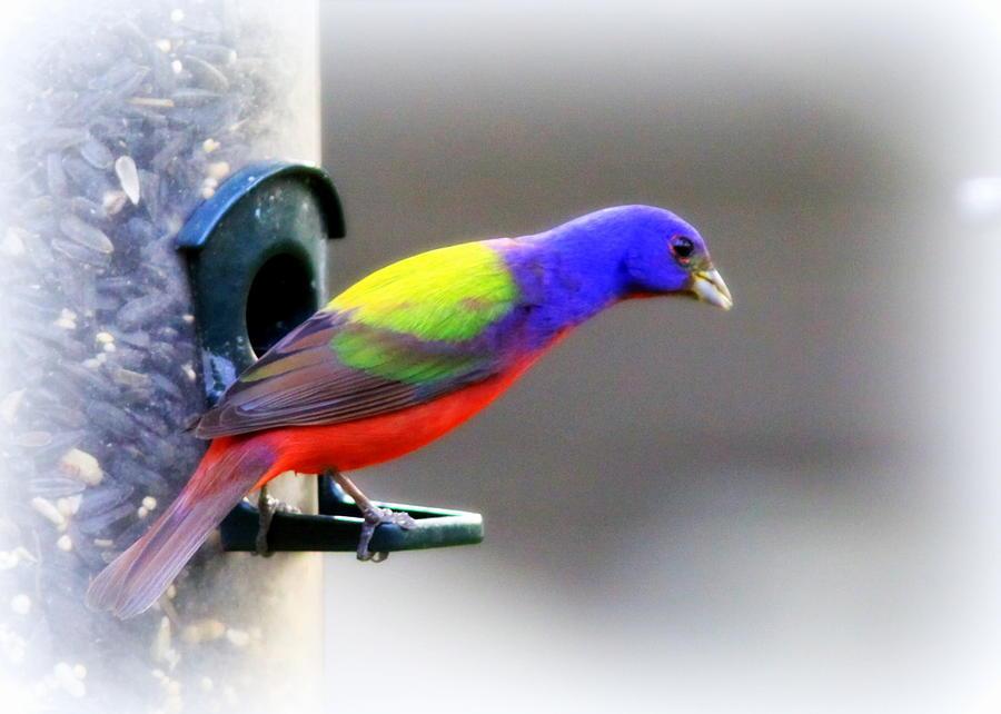 Bird Photograph - Painted Bunting - Img 9755-004 by Travis Truelove