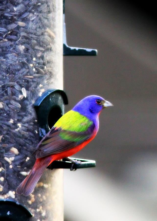 Bird Photograph - Painted Bunting - Img 9757-002 by Travis Truelove