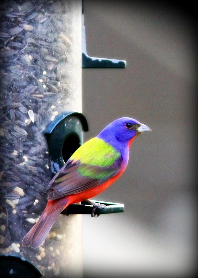 Bird Photograph - Painted Bunting - Img_9756-004 by Travis Truelove