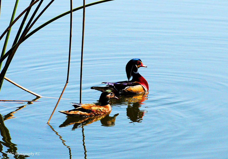 Ducks Photograph - Painted Ducks by Marty Gayler