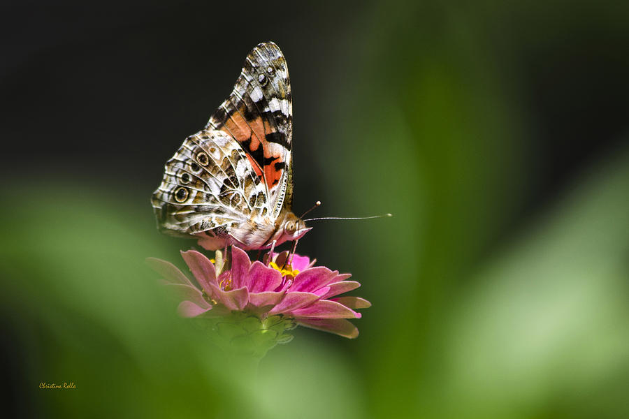 Painted Lady Photograph - Painted Lady Butterfly At Rest by Christina Rollo