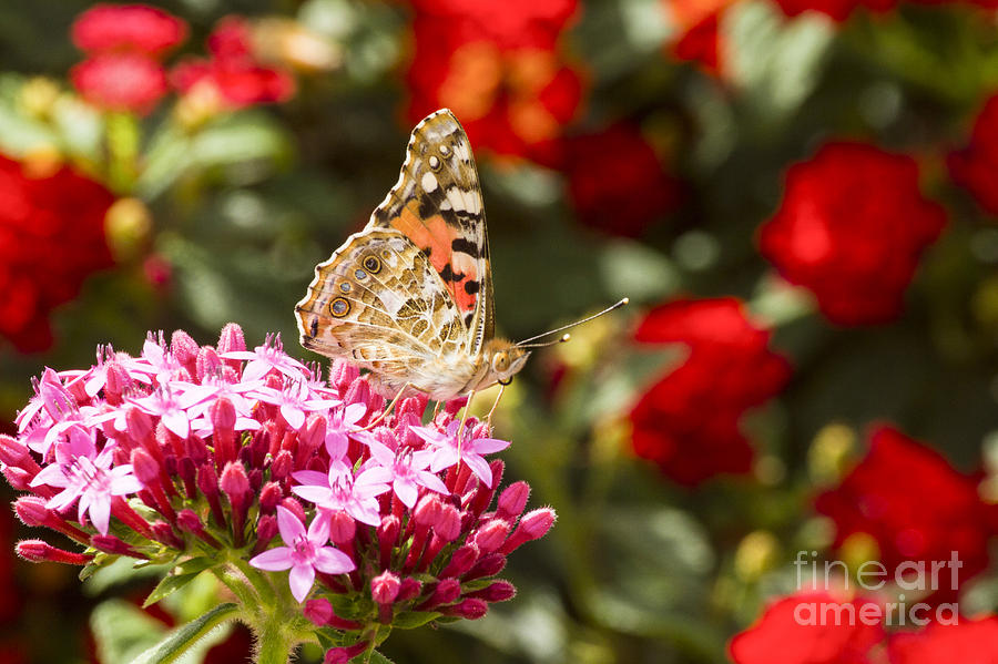 Painted Lady Photograph - Painted Lady Butterfly by Eyal Bartov