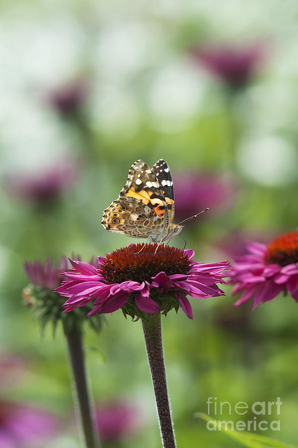 Painted Lady Butterfly Photograph - Painted Lady Butterfly  by Tim Gainey