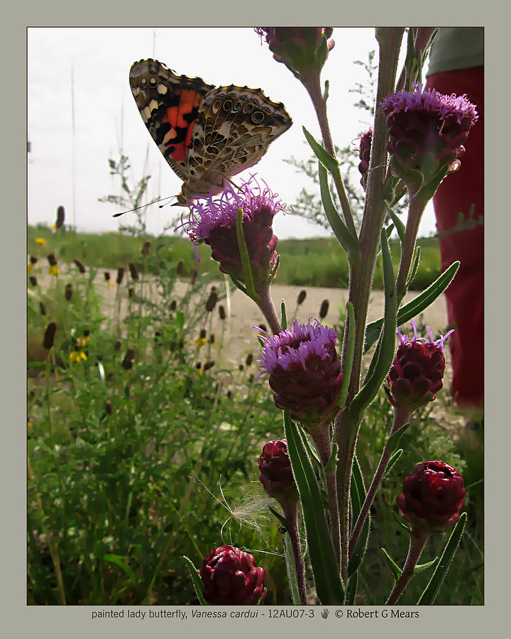 Painted Lady Butterfly Photograph - painted lady butterfly - Vanessa cardui - 12AU07-3 by Robert G Mears