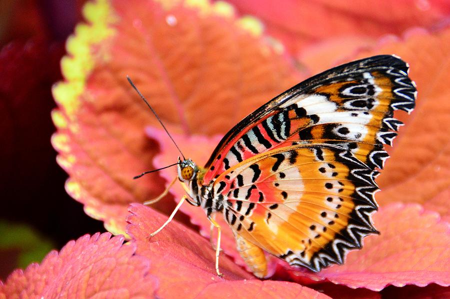 Butterfly Photograph - Painted Lady by David Earl Johnson
