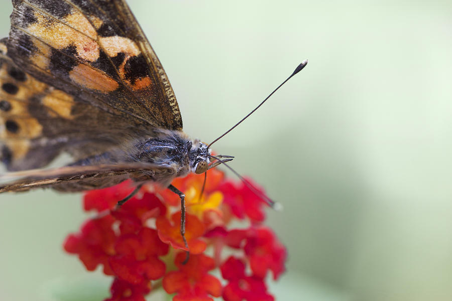 Butterfly Photograph - Painted Lady II by Pamela Gail Torres