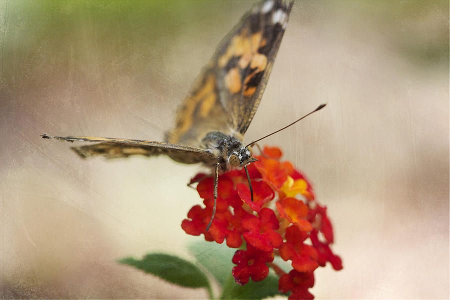 Butterfly Photograph - Painted Lady by Pamela Gail Torres