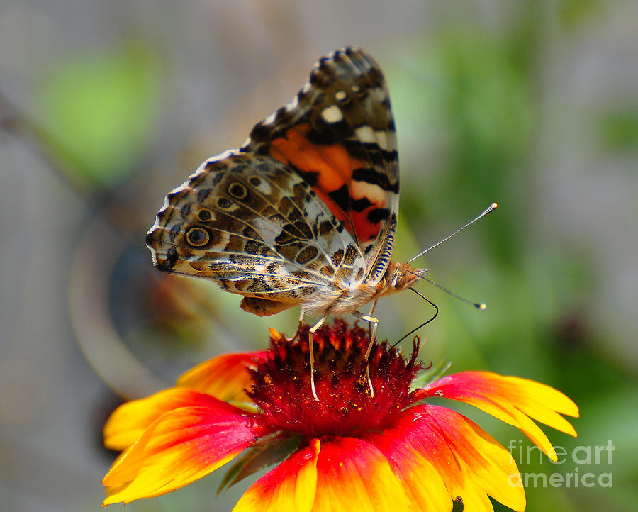 Butterfly Photograph - Painted Lady by Todd Hostetter