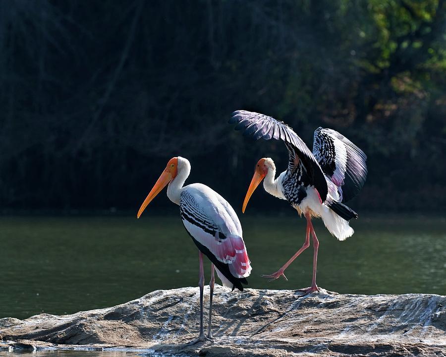 Animal Photograph - Painted Storks by K Jayaram