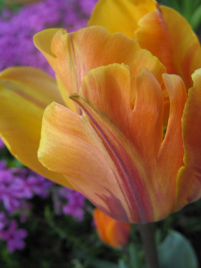 Tulip Photograph - Painted Tulip by Tracy Male
