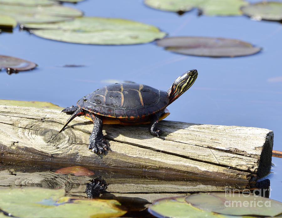 Painted Turtle Catching the Rays by Ilene Hoffman