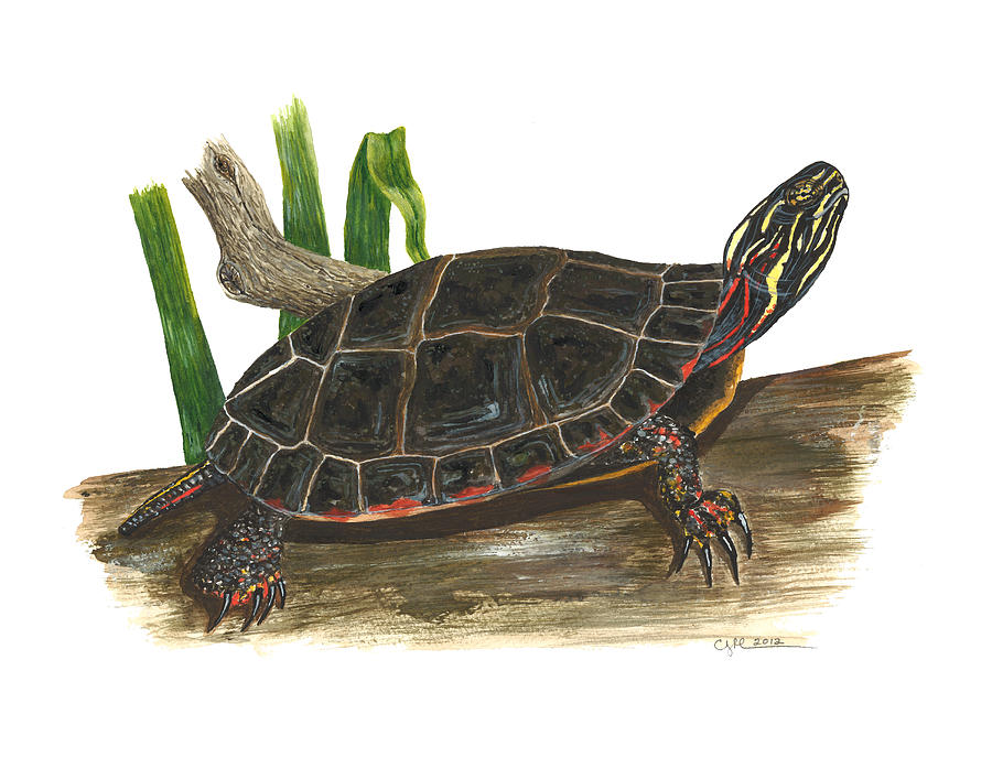 Painted Turtle Painting - Painted Turtle by Cindy Hitchcock