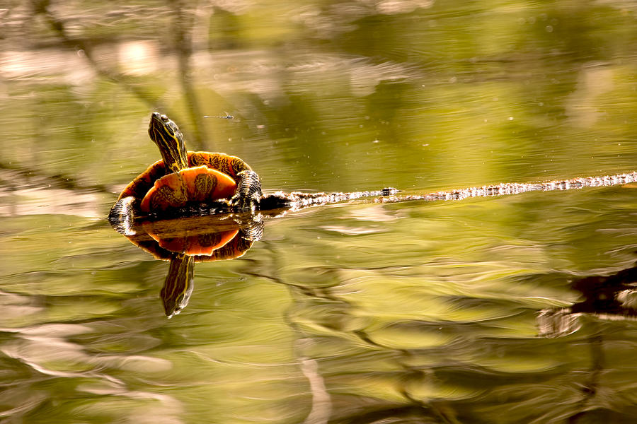 Turtle Photograph - Painted Turtle by Peggy Collins