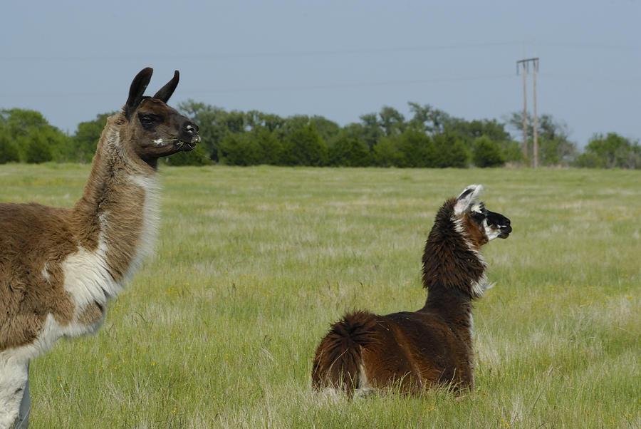 Alpaca Photograph - Pair Of Alpacas by Charles Beeler