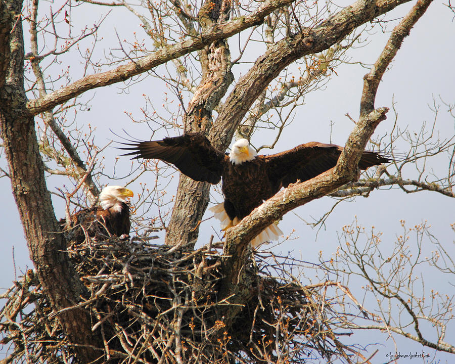 Pair of Eagles at Nest Photograph by Jai Johnson