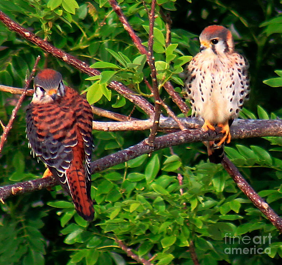 Caribbean Falcons by The Art of Alice Terrill