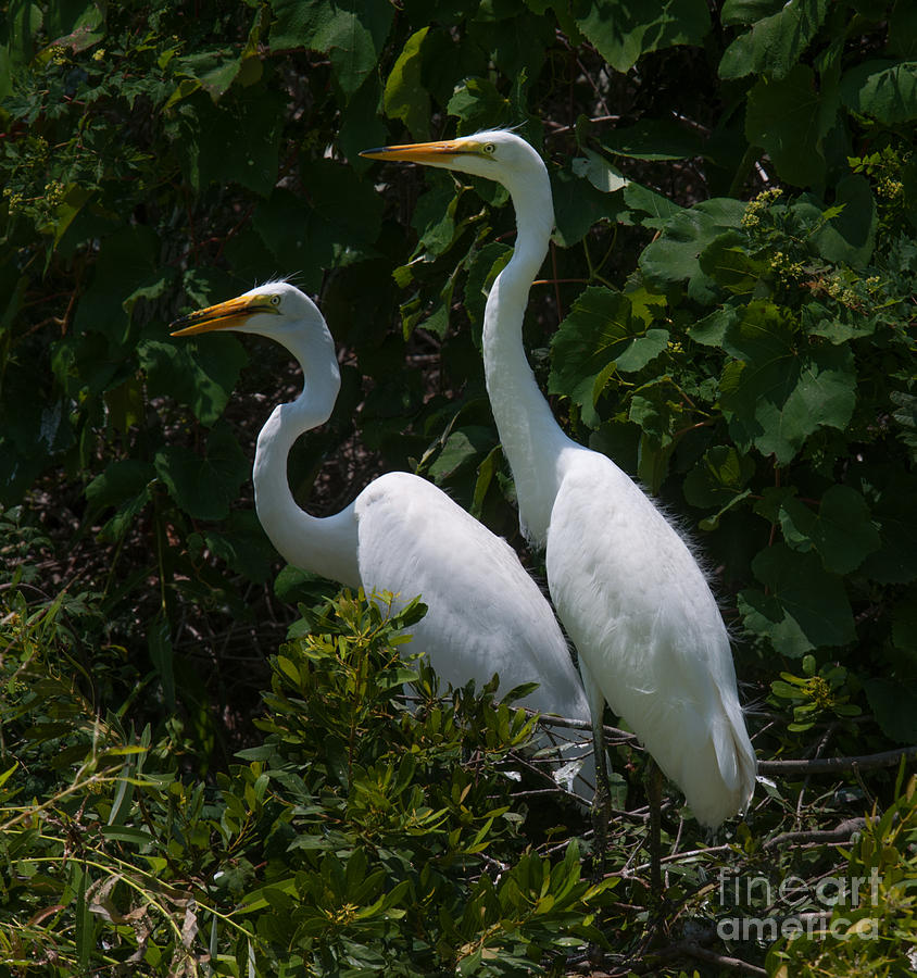 Pair Of Herons Photograph