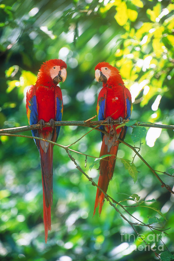 Scarlet Macaws Photograph - Pair Of Scarlet Macaws by Art Wolfe