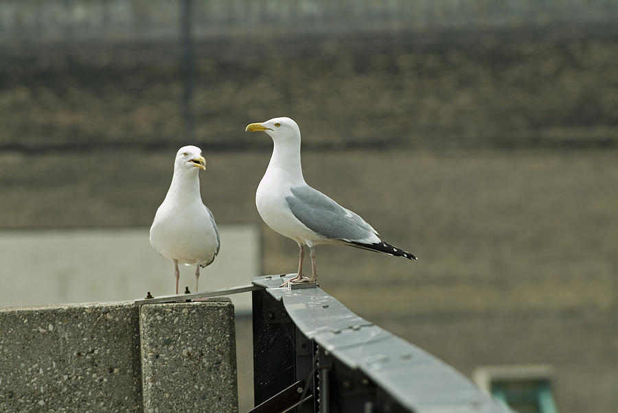 Seagulls Photograph - Pair Of Seagulls by Devinder Sangha