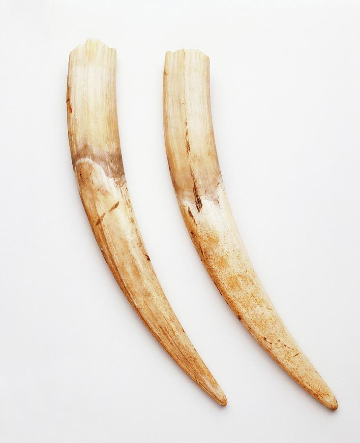 Pair Of Walrus Tusks