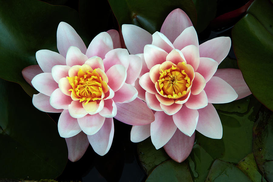 Pair Of Water Lilys Photograph by Allan Baxter