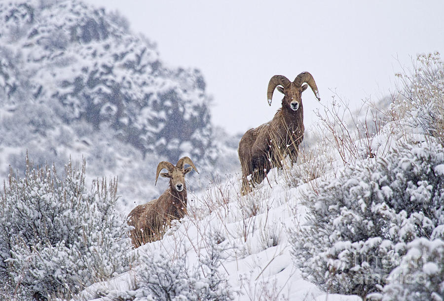 Ram Photograph - Pair Of Winter Rams by Mike  Dawson