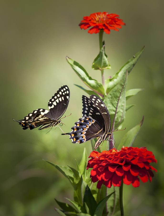 Butterflies Photograph - Palamedes Swallowtail Butterflies by Jo Ann Tomaselli
