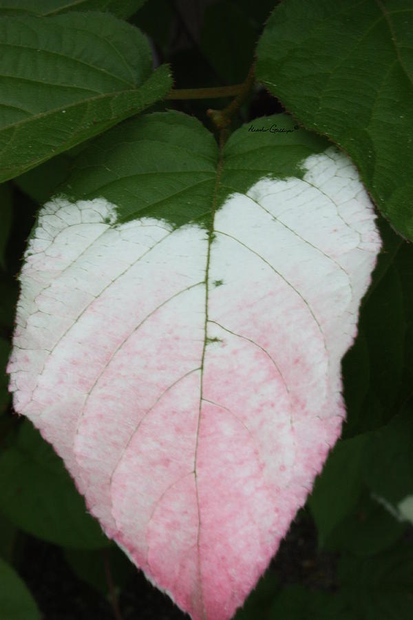 Leaves Photograph - Pale Blush by Heather Gallup