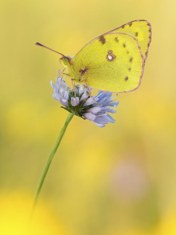Pale Clouded Yellow Butterfly On Flower Photograph by Arik Siegel