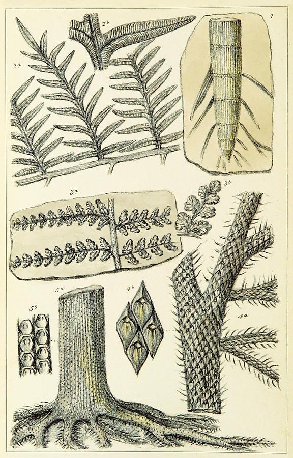 Historic Photograph - Paleozoic Flora, Calamites, Illustration by British Library