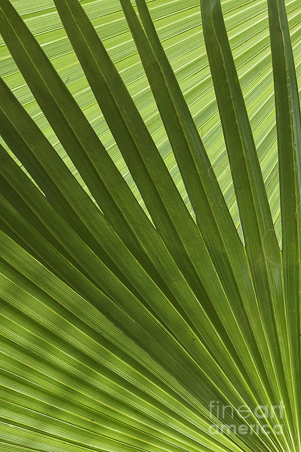 Palm Photograph - Palm Abstract by Patty Colabuono