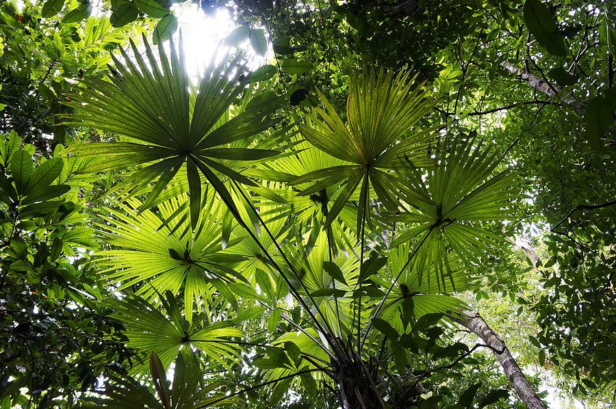 Palm Leaves In Rainforest Costa Rica Photograph by Hiroya Minakuchi