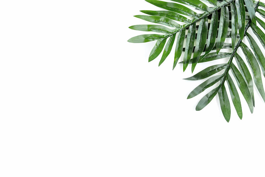 Palm Leaves on White Background Photograph by Nora Carol Photography